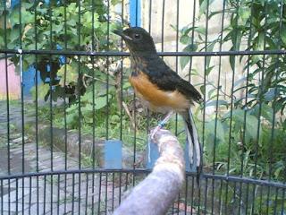Burung Murai Batu - Pemilihan Burung Murai Batu Bakalan Pemilihan yang Cerdas Untuk Burung yang Berpotensi Untuk Kontes Burung - Penangkaran Burung Murai Batu
