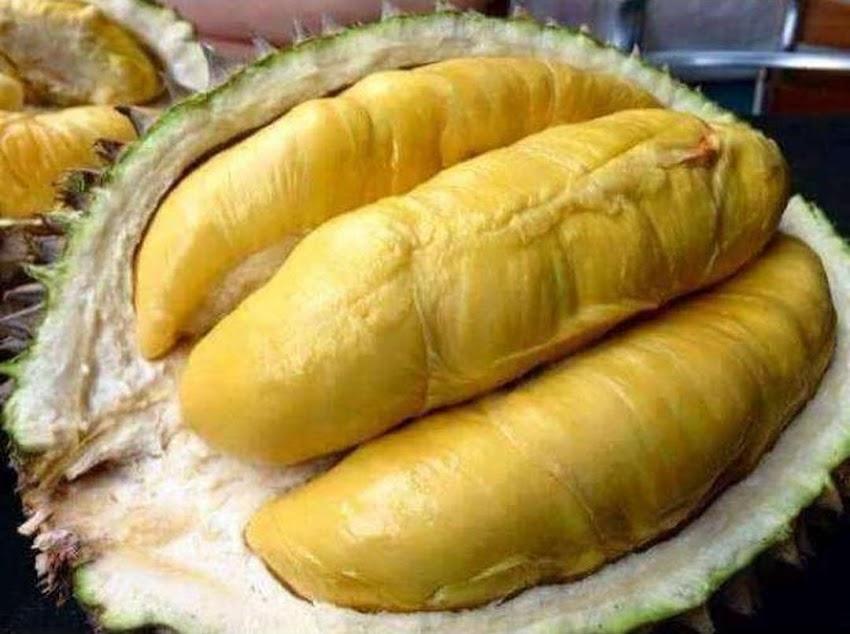 COD bibit durian montong super Gorontalo