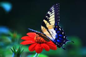 Cerita Pendek Anak Tiga Bahasa (Indonesia-Sunda-Inggris) Kupu-Kupu Berhati Mulia-Kukupu Nu Haténa Mulya-Butterfly with A Kind Heart