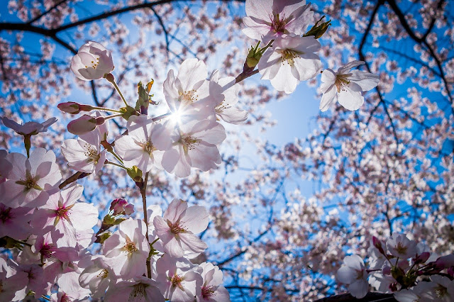 Bunga sakura terindah