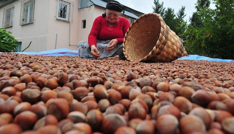Fındık işçisinin Yevmiyesi Asgari 70 Lira Olarak Belirlendi