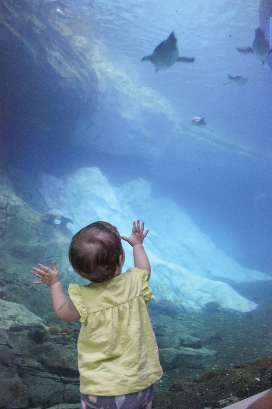child watching penguins swim at polk penguin conservation centre Detroit zoo Michigan