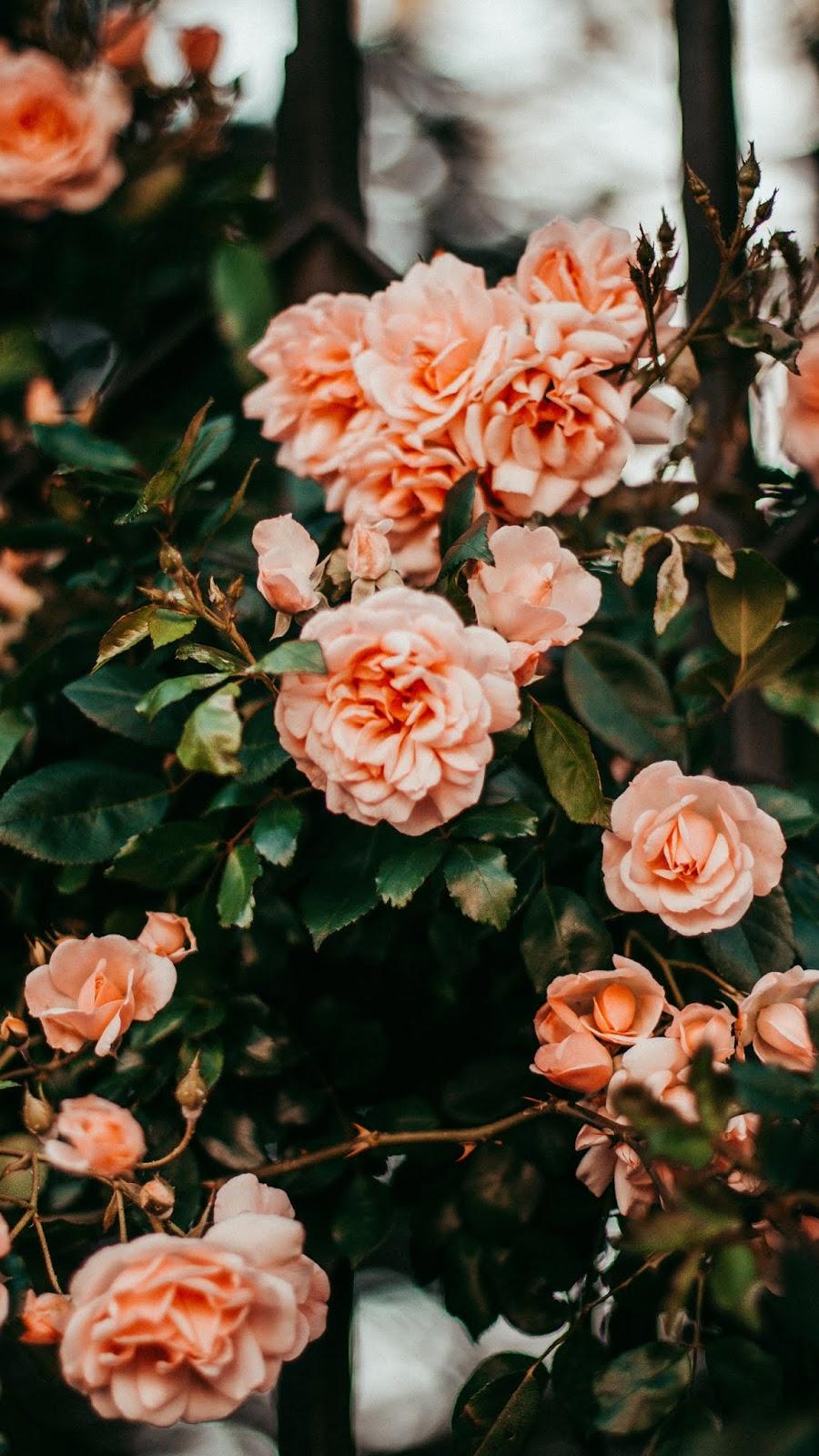 Hoa hồng màu cam