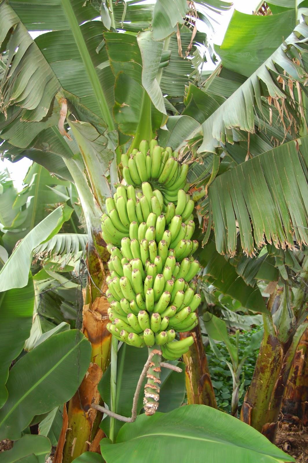 Pl tano de canarias isla de tenerife v vela for Banano de jardin