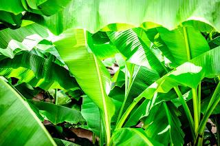hantu, pisang, thailand, nang tani, daun