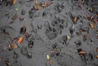 Sundarban Tigers footprint image