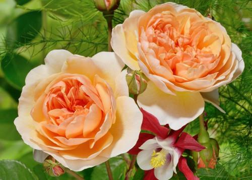 Port Sunlight сорт розы