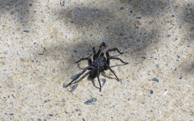Страшный черный паук в Таиланде