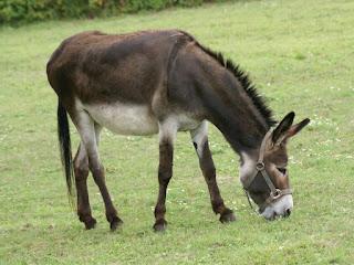 Ane domestique - Equus asinus - Equus africanus asinus