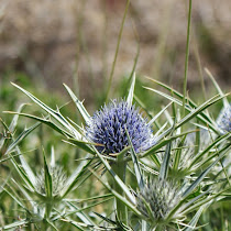 http://wild-flowers-of-europe.blogspot.nl/2014/10/eryngium-glaciale.html