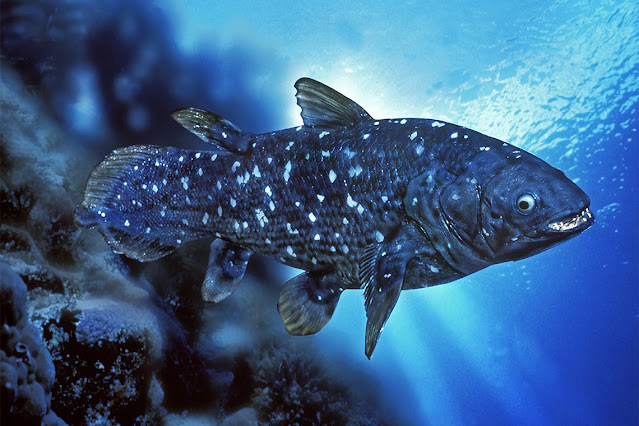 Not a living fossil: How the Coelacanth recently evolved dozens of new genes