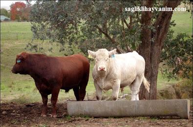 besicilikte hangi hayvanlar beslenilir