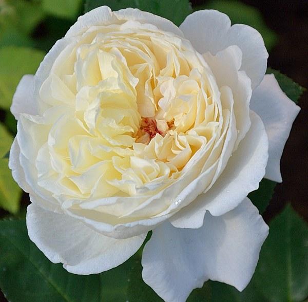 Mariangela Melato сорт розы фото