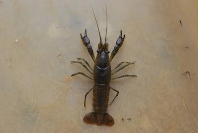 Marbled crayfish