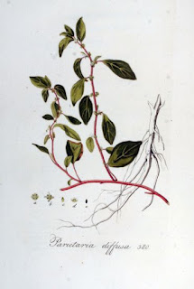 Parietaria diffusa (syn. P. judaica) botanical drawing from biolib.de.