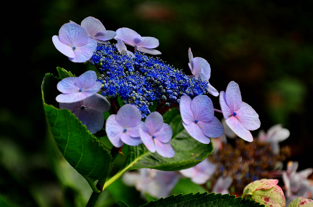 Hydrangea Care And Culture Travaldo S Blog