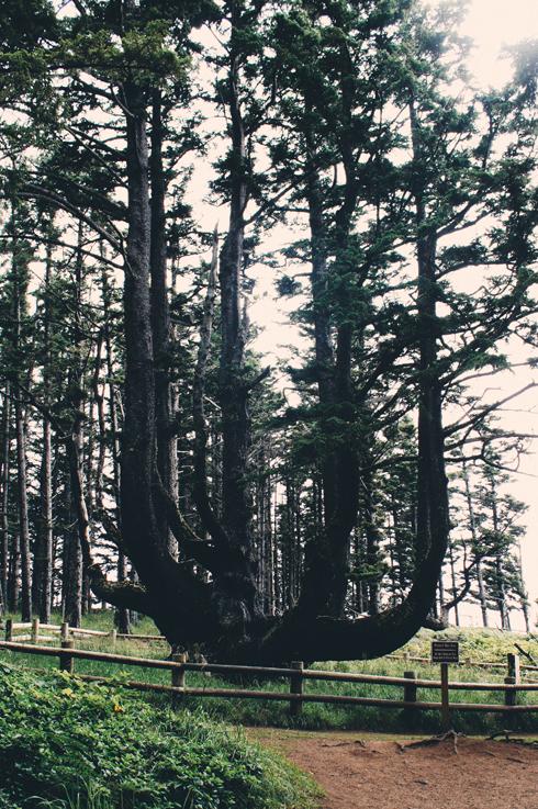 Octopus Tree Cape Meares Oregon