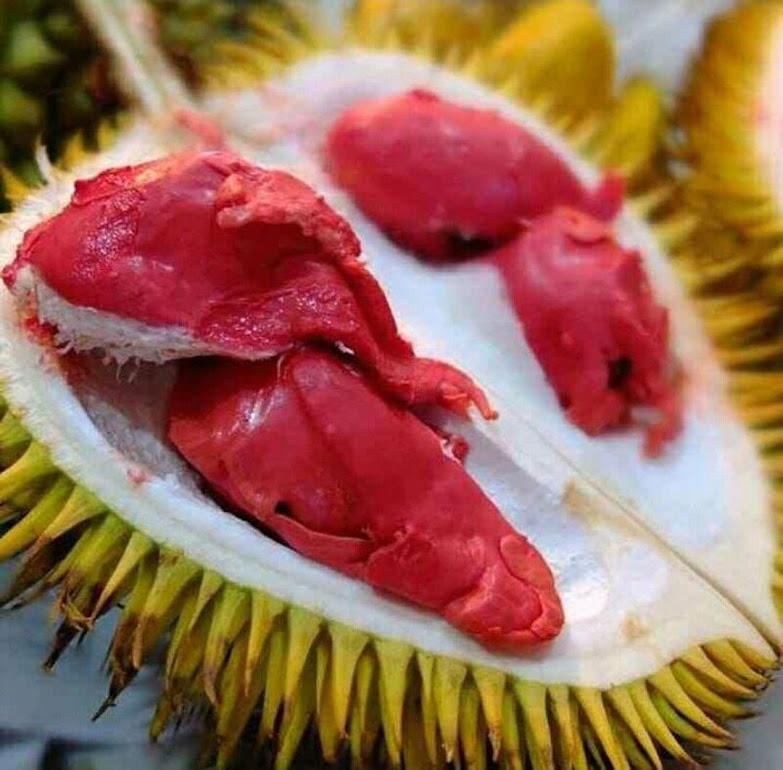 Bibit Durian Merah Banyuwangi Okulasi ORIGINAL Pekalongan