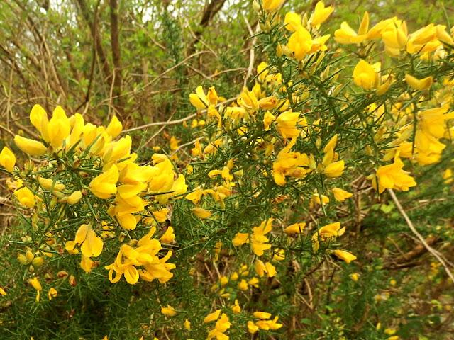 Bright yellow gorse growing wild in Cornwall