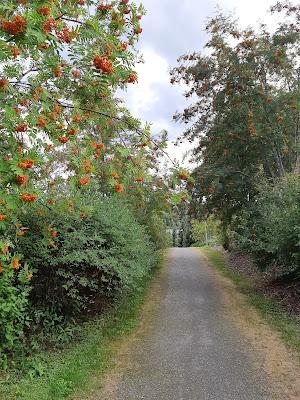 Hiekkapäällysteinen kävelytie, vasemmalla etualla pihlaja oransseine marjoineen