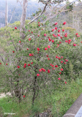 bottlebrush, Callistemon sp.