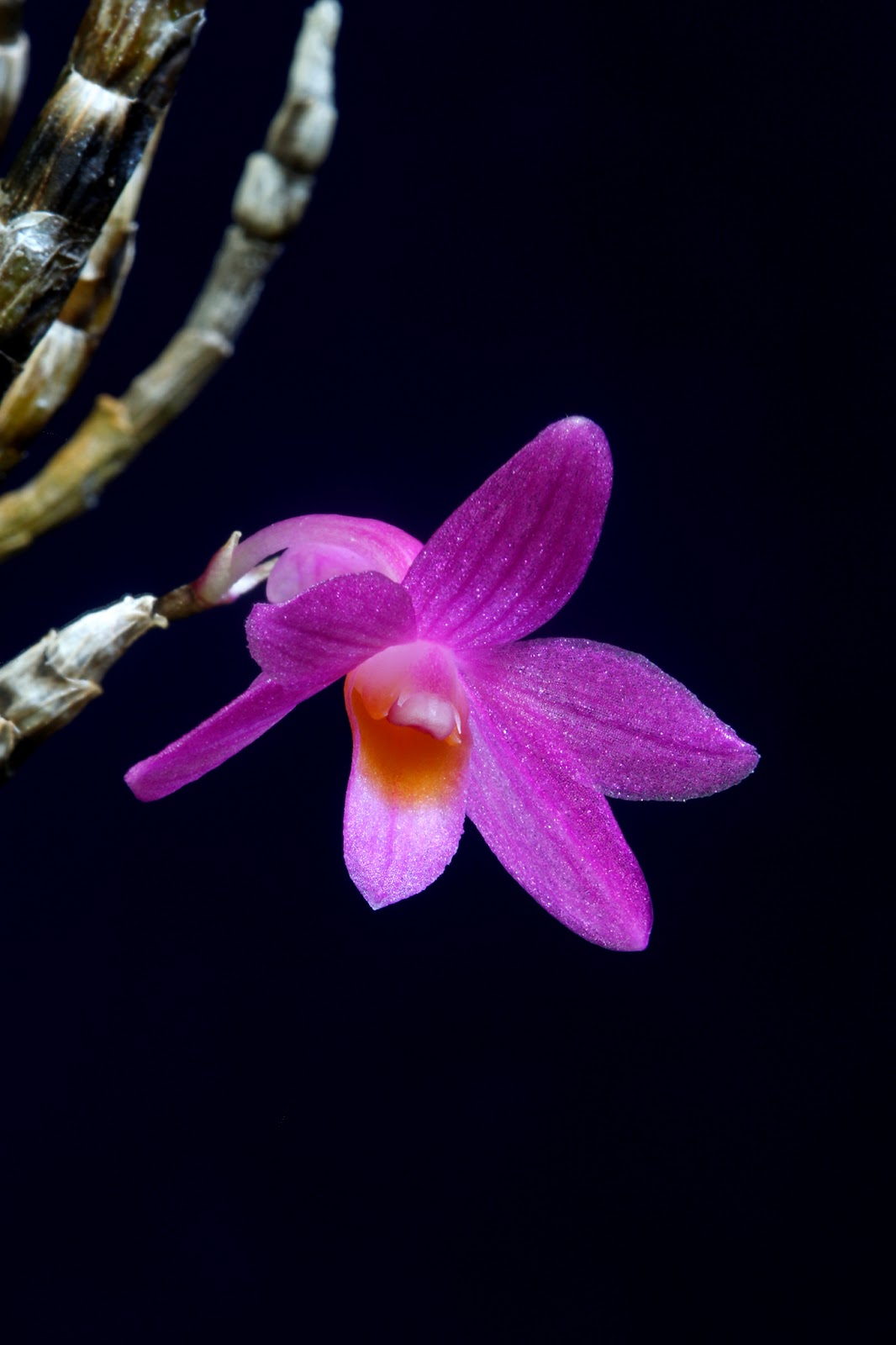 Dendrobium orchid - a plant only for professional florists 73