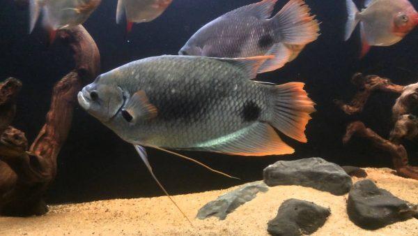 Budidaya Ikan Gurame Blue Safir