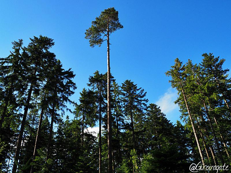 foresta nera kniebis