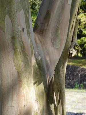 山田池公園 サルスベリ 木肌 アリ