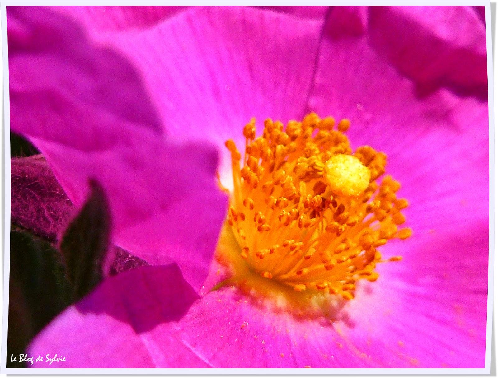 le blog de sylvie: ciste rose