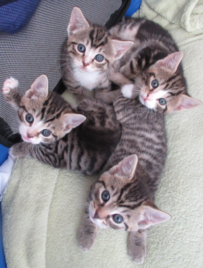 Four tabby kittens looking up at the camera