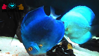 Ikan Discus Blue Diamond