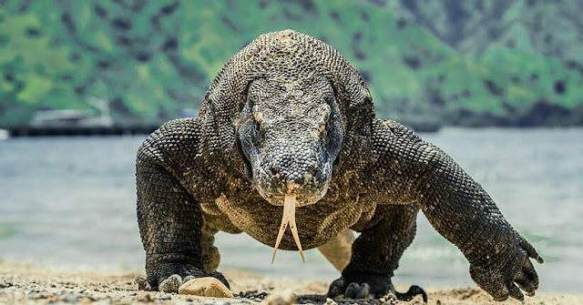 Vote for Komodo Island as the NEW 7 Wonders of the World
