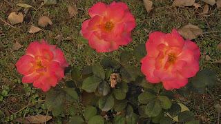 Rose Flower in National Rose Garden Delhi 2076