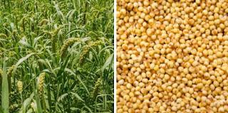 The benefits of Foxtail millet to our body.  మన శరీరానికి కొర్రలు యొక్క ప్రయోజనాలు.