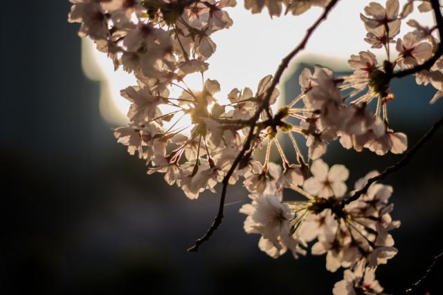 靱公園:桜