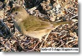 Black-faced Grassquit (Tiaris bicolor) female bird