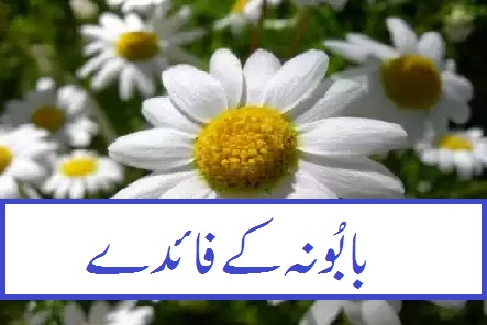 chamomile meaning in urdu