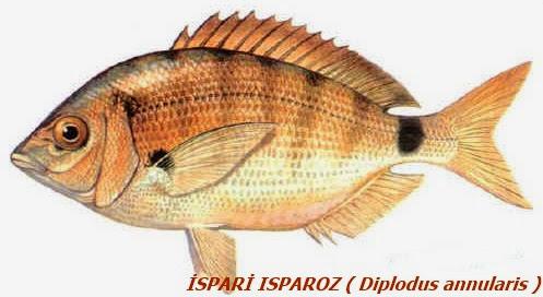 ispari balığı özellikleri ile ilgili görsel sonucu