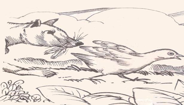 Asal Usul Burung Puyuh Tidak Berekor Jendela Informasi