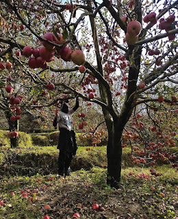 A north Indian apple orchard.