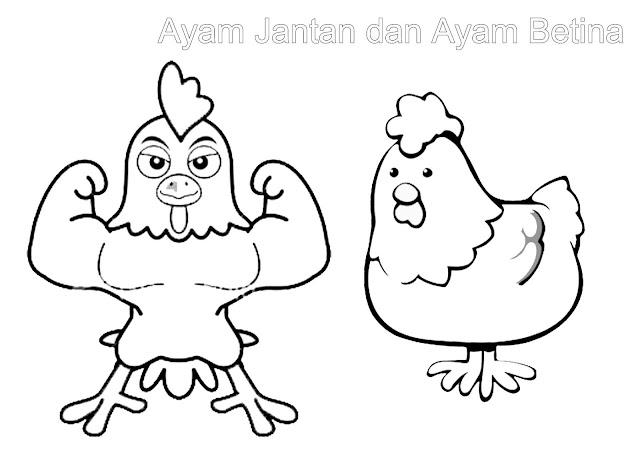 gambar mewarnai ayam jago dan ayam betina lucu