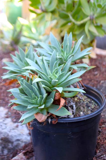 Dudleya palmeri in 2 gal pot
