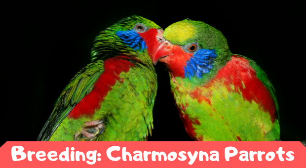 how to breed Charmosyna Parrots