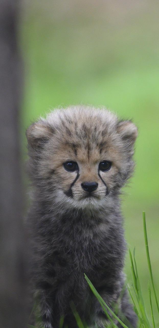 Cute cheetah cub.