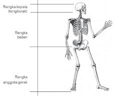Kerangka dalam tubuh manusia dan Pembagiannya