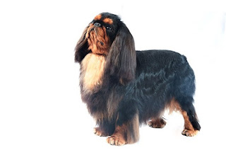 Everything about your English Toy Spaniel