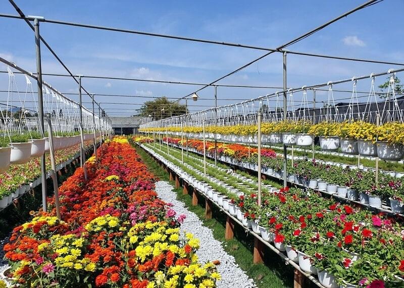 Vườn trồng hoa cúc và vạn thọ tại Làng Hoa Sa Đéc