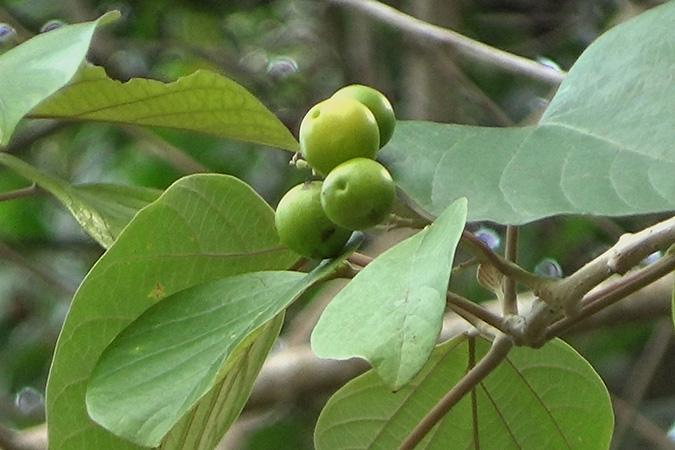 Dlium Kashmir tree (Gmelina arborea)