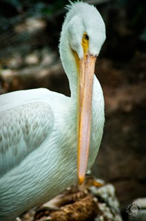 White pelican preening in a natural setting professionally photographed by Cramer Imaging's professional photograph of a white pelican posing at Tautphaus Park Zoo, Idaho Falls, Bonneville, Idaho